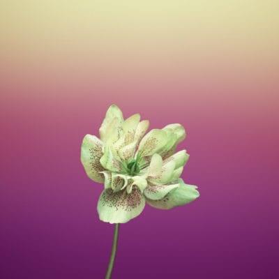 Flower_HELLEBORUS-iOS-11